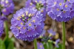 Free Primula Denticulata Stock Photos - 70941713