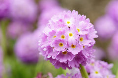 Primula denticulata blossom in the garden Royalty Free Stock Images
