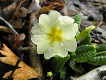 Primula denticulata royalty free stock photos