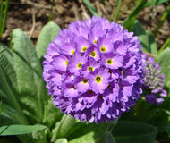 Primula denticulata Primrose. Is serrulate beautiful flower Royalty Free Stock Photos
