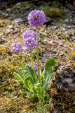 Primula denticulata Stock Photography