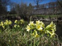 Primula elatior_at de kleine kreek Stock Afbeeldingen