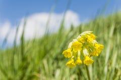 Primula elatior (oxlip, true oxlip) Royalty Free Stock Photography