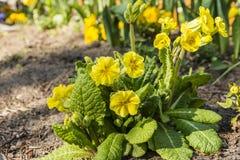 Primula elatior (oxlip, true oxlip) Royalty Free Stock Image