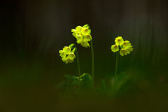 Primula elatior, the oxlip or true oxlip, yelow spring flower with dark forest at background, nature habitat, Czech Republic Royalty Free Stock Photos