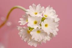 Primula en color de rosa imagenes de archivo