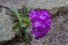 Primula farinosa Royalty Free Stock Image