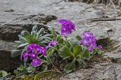 Primula farinosa Royalty Free Stock Photography
