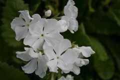 Primula, fiori bianchi fotografia stock libera da diritti
