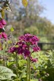 Primula flowe Royalty-vrije Stock Foto