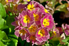 Primula flower. Beautiful Primula flower flower in garden stock photo