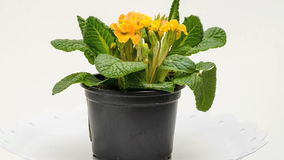 Primula flower stock video footage