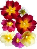 Primula flower Stock Photo