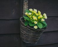 Primula flower basket royalty free stock image