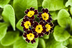 Primula flower blooming in a garde, spring time. Stock Images