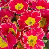 Primula flower Royalty Free Stock Images