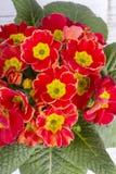 Primula flower Stock Image