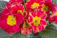 Primula flower Royalty Free Stock Photo