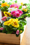 Primula in flower pot Royalty Free Stock Photo