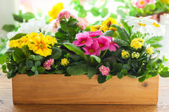 Primula in flower pot. Fresh colorful primula in wooden flower pot Stock Image