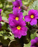 Primula flower Royalty Free Stock Photo