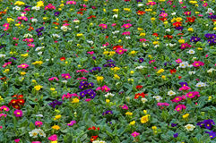 Primula flowerbed Stock Photos