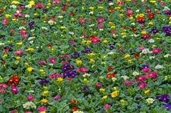 primula flowerbed Стоковые Фото