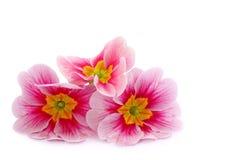 Primula flowers Stock Photo