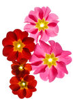 Primula flowers Stock Images