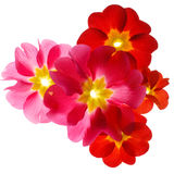 Primula flowers Stock Photography