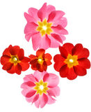 Primula flowers Royalty Free Stock Photos