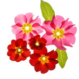 Primula flowers Royalty Free Stock Image