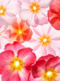 Primula flowers Royalty Free Stock Photo
