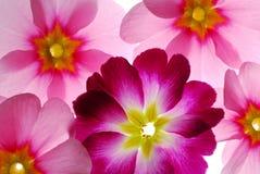 Free Primula Flowers Stock Image - 3979171
