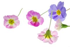 Primula flowers Royalty Free Stock Images