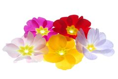 Primula flowers Stock Photos