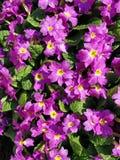 Primula flowers, background image royalty free stock photography