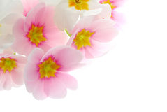 Primula flowers in bloom Royalty Free Stock Images
