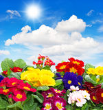 Primula flowers on blue sky background Stock Images