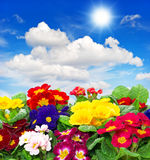 Primula flowers on blue sky background Royalty Free Stock Photography