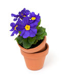 Primula flowers in ceramic pots Stock Photo