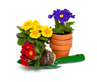 Primula flowers, ceramic pots and shovel. Isolated on white background royalty free stock images