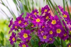 Primula flowers close-up, purple stock photo