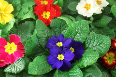 Primula flowers closeup Royalty Free Stock Photo