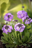Primula flowers Stock Photo