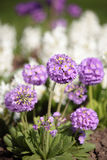 Primula flowers in a garden Stock Image