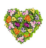 Primula Flowers heart , isolated on white Stock Photo
