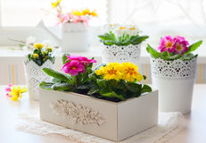 Free Primula Flowers In Pots Royalty Free Stock Image - 50469496