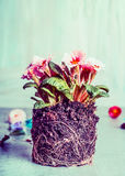 Primula flowers plant with dirt and roots for planting Royalty Free Stock Photo