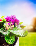 Primula in flowers pot on spring nature background. Stock Images